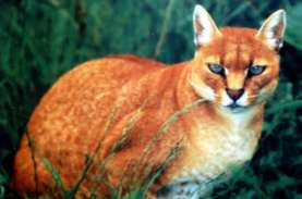 Kucing Emas, Jenis Langka Yang Muncul di Agam Sumbar