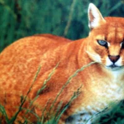 Kucing Emas Jenis Langka Yang Muncul Di Agam Sumbar Kabar24 Bisnis Com