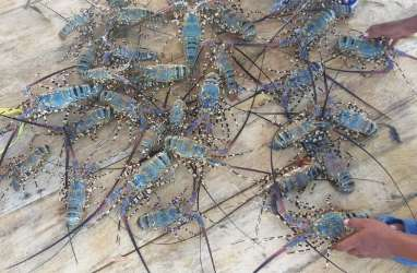 Aturan Belum Jelas, Ekspor Lobster Minta Dihentikan