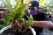 Warga di Gorontalo Mulai Hobi Membonsai Kelapa