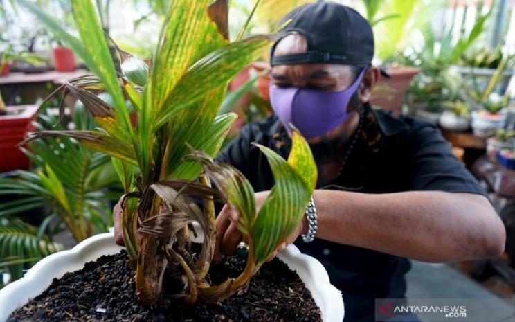 Warga Di Gorontalo Mulai Hobi Membonsai Kelapa Entrepreneur