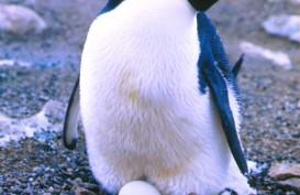 Manusia Takut Es di Kutub Cair, Penguin Justru Bergembira