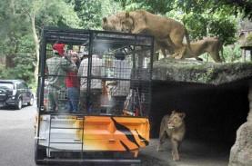 Ridwan Kamil Beri Izin Taman Safari Buka Kembali,…