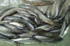 Banyak Dicari, Pangkalpinang Tebar 5.000 Benih Ikan…