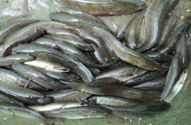 Banyak Dicari, Pangkalpinang Tebar 5.000 Benih Ikan Gabus