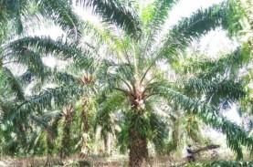 Kebun Sawit Seluas 3.000 Hektare di Mukomuko Beralih…