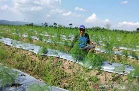 Petani di Temanggung Budi Daya Asparagus Mulai Banyak