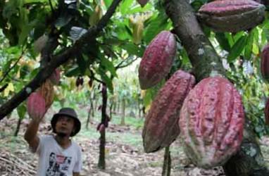 Investor Belgia Tertarik Kembangkan Kakao di Manokwari Selatan