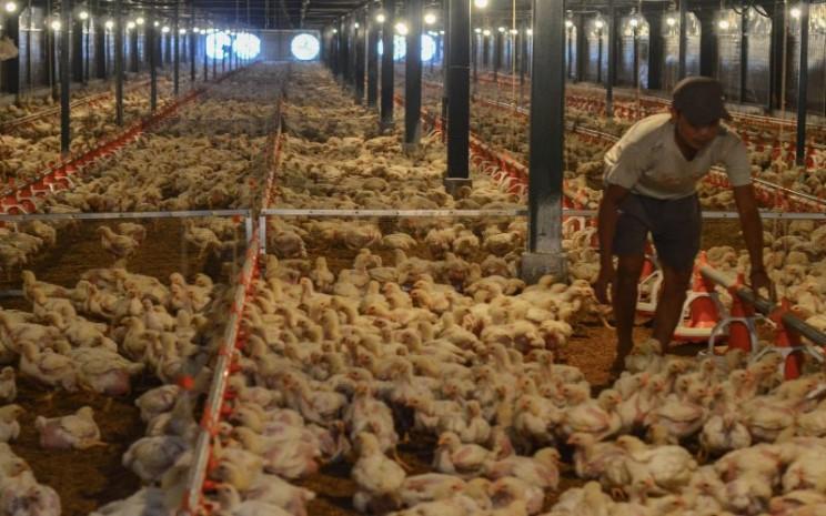 Pekerja memeriksa kondisi kandang dan ayam di peternakan ayam modern Naratas, Desa Jelat, Kabupaten Ciamis, Jawa Barat, Sabtu (11/4 - 2020). /Antara