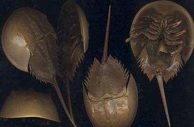 "KKP Lepasliarkan Dua ""Fosil Hidup"" Terjaring Nelayan"