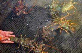 Keran Ekspor Benih Lobster Dibuka, Hanya Untung Jangka Pendek