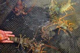 Keran Ekspor Benih Lobster Dibuka, Hanya Untung Jangka…