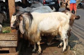 Harga Hewan Ternak di Sumedang Perlahan Naik Jelang…