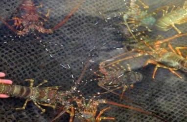 Jadi Kesayangan Susi, Di Manakah Posisi Lobster Indonesia di Pasar Global?