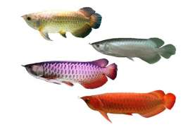 Ikan Arwana Legal harus Dipasangi Microchip RFID.…