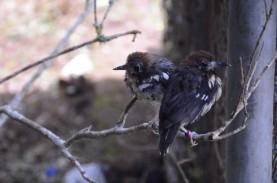 Dilepas-liarkan, Burung Anis Kembang Punya Habitat…