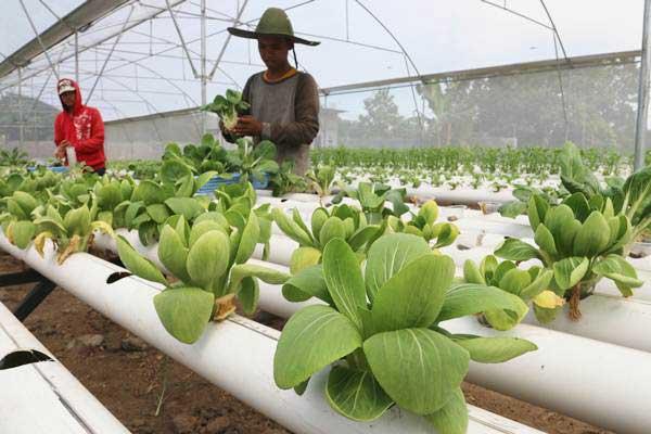 Petani memanen sawi putih hidroponik, di Deli Serdang, Sumatra Utara, Minggu (4/6). - Antara/Irsan Mulyadi