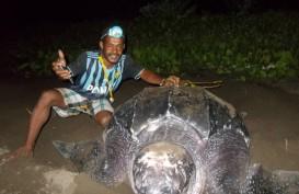 5 Penyu Raksasa Seukuran Meja Makan Bertelur di Pantai Warebar Raja Ampat