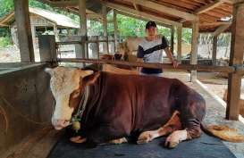 Jokowi Beli Sapi Kurban Jumbo Seharga Rp87 Juta, Namanya Gombloh