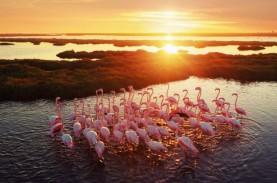 Di Balik Punahnya Flamingo Australia
