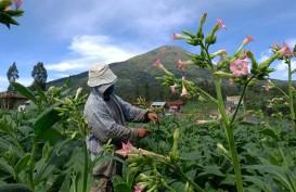 Pandemi Covid-19, Petani Tembakau Tunggu Serapan Jelang Panen