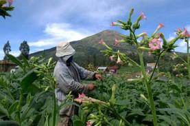 Pandemi Covid-19, Petani Tembakau Tunggu Serapan Jelang…