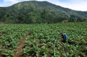 Lahan Tanaman Tembakau Temanggung Susut 4.600 Hektare Tahun Ini