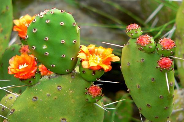 Opuntia atau kaktus - wikipedia