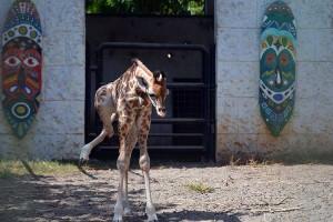 Bayi Jerapah di Maharani Zoo Paciran Lamongan Diberi Nama Kindi