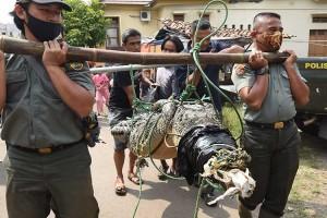 BKSDA Bersama Warga Tangkap Buaya Liar di Sungai Cidanau Banten