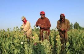 Opium, Kunci Sembuh Virus Corona di Afghanistan?