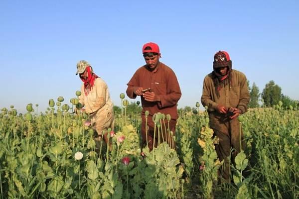 Budidaya  opium  di Afghanistan, sumber utama dari heroin di dunia,  meningkat menjadi tertinggi ketiga dalam tempo  lebih dari 20 tahun, demikian konfirmasi dari PBB  pada  Minggu (23/10/2016), dan pemberontak Taliban meraup keuntungan. - REUTERS