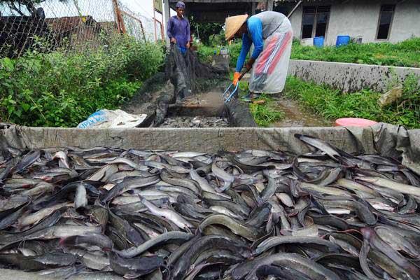 Pekerja memanen ikan lele hasil budidaya di Tegalrejo, Sawit, Boyolali, Jawa Tengah, Rabu (2/1/2019). - ANTARA FOTO/Aloysius Jarot Nugroho