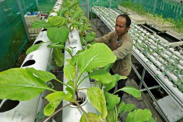Petani merawat tanaman sayur sawi Caisim yang ditanam menggunakan metode hidroponik di Penyengatrendah, Telanaipura, Jambi, Kamis (12/10). - ANTARA/Wahdi Septiawan