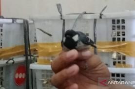 BKSDA Jambi Sita 240 Burung Gelatik Batu Tanpa Dokumen