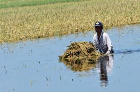 Banjir Rendam Ratusan Hektare Sawah di Sulteng, Sebagian…
