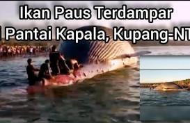 Bangkai Paus Biru di Pantai Kupang Hilang Teseret Ombak