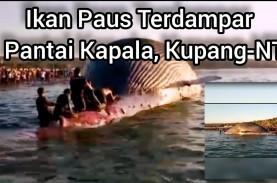 Bangkai Paus Biru di Pantai Kupang Hilang Teseret…