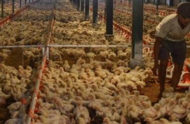 Prospek Harga Ayam Negatif, Bagaimana Proyeksi Kinerja Emiten Unggas?