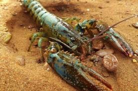 KKP Kembali Lepas Lobster di Kawasan Konservasi