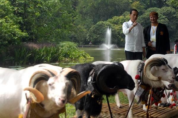 Presiden Joko Widodo saat melihat domba yang akan ikut lomba di kawasan Istana Bogor, Kebun Raya Bogor, Jawa Barat, Sabtu (27/8/2016). Didamping Ketua Himpunan Peternak Domba dan Kambing Indonesia (HPDKI) Yudi Guntara (kanan) - Antara/Yulius Satria Wijaya
