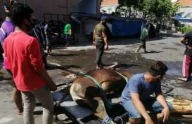 Jumlah Hewan Kurban di Bali Turun 15 Persen