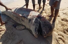 Misterius! Sekelompok Paus Pilot Mati di Pantai Lie Jaka