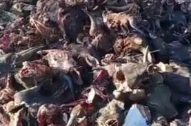 Kasus Pembuangan Ratusan Kepala Sapi, Dua Pria Diperiksa…