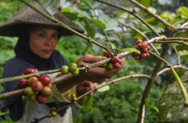 Integrasi Perkebunan Lada dan Kopi, Buka Peluang Petani Dapat Penghasilan Baru