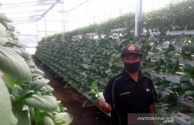 Omzet Bercocok Tanam Sayuran Hidroponik Cukup Menjanjikan