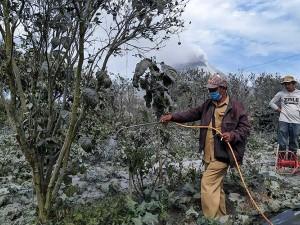 Petani Bergotong Royong Membersihkan Tanaman Mereka Yang Tertutup Abu Vulkanik Pascaerupsi Gunung Sinabung