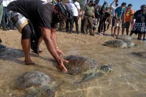 Delapan Ekor Penyu Hasil Sitaan BKSDA Bali Dilepasliarkan