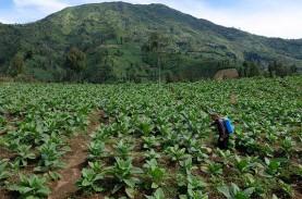 Probolinggo Menyiapkan Lahan Percontohan Tembakau…