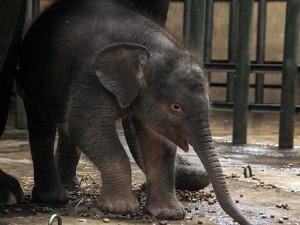 Bayi Gajah Sumatra Lahir di Taman Safari Prigen Jawa Timur